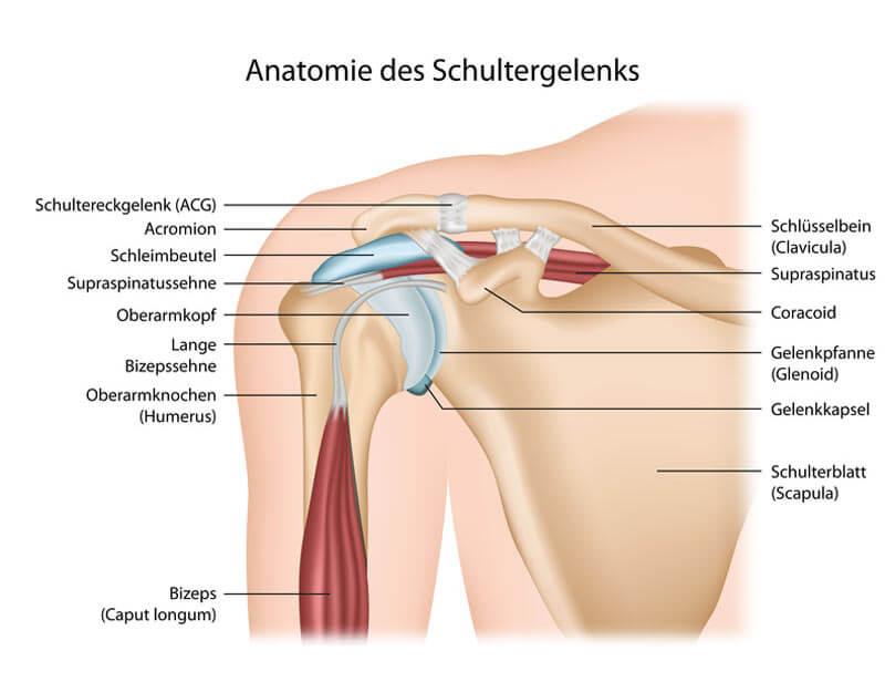 Yoga-Übungen Schultern und Nacken - Anatomie