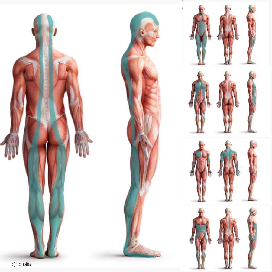 Faszien Linien im Körper
